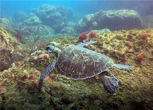 8월에 홍도 바다에서 촬영된 푸른바다거북.