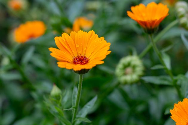 Close up of Calendula flower in garden after