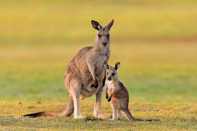 Έφηβοι στην Αυστραλία σκότωσαν 14 καγκουρό, μεταξύ των οποίων δύο