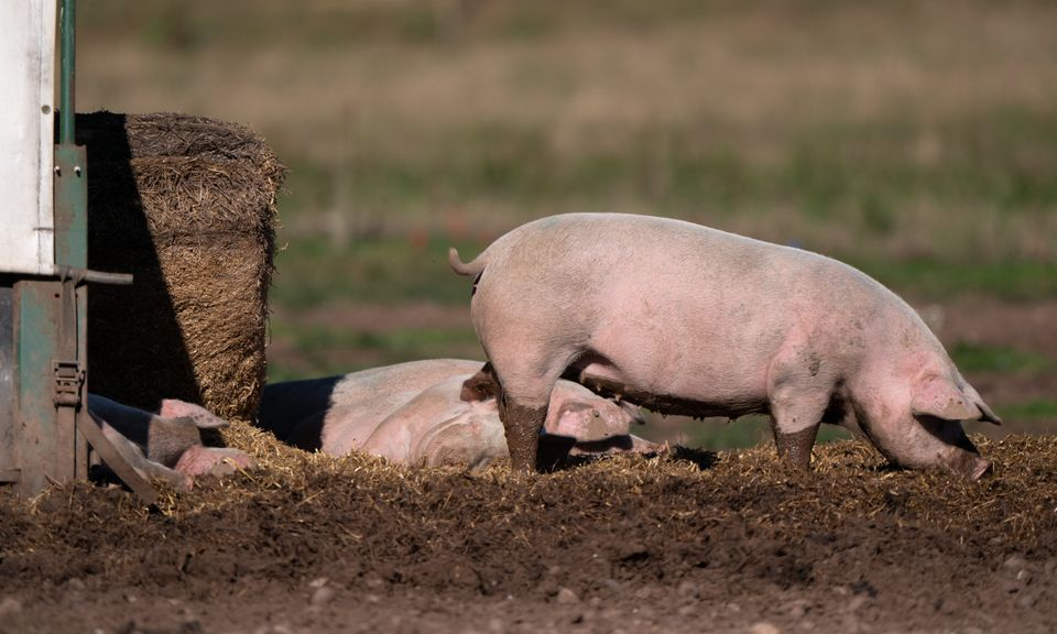 Pigs on a farm in