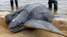 600-lb Stranded Sea Turtle Splashes Back Into The Ocean After Rescue