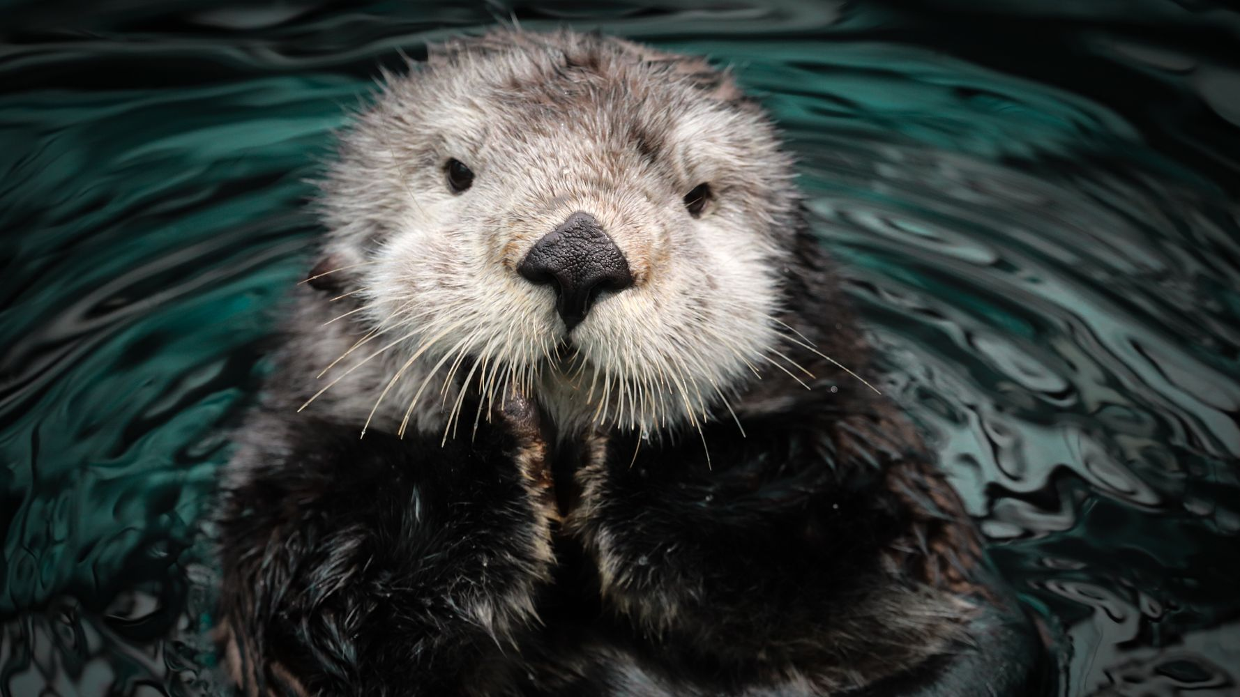 Sea Otters Are Adorable Stewards Of Underwater Sea Grass Meadows
