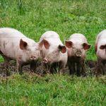 Γουρούνια στο αεροδρόμιο του Άμστερνταμ κρατούν ασφαλή τα αεροπλάνα στον