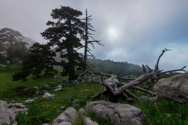 Le antiche foreste del Pollino resistono alla crisi climatica (di R. Bressa)