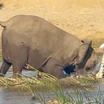 Ελέφαντας ποδοπάτησε κροκόδειλο μέχρι θανάτου σε ποταμό της
