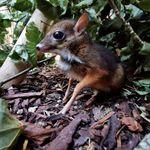 「まるでバンビ」体長20センチの珍しい「マメジカ」が誕生。「個体数の維持に重要」と歓迎