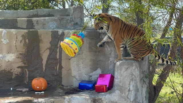 Tiger Rescued From Freezing Backyard Cage Celebrates 1st Birthday At Sanctuary.jpg