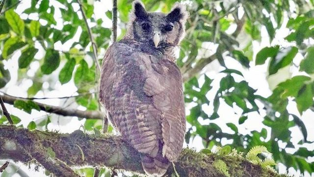 Elusive Owl Caught On Camera After Flying Under Radar For 150 Years.jpg